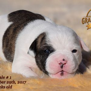 American Bulldog Puppy for sale - photo 66.jpg