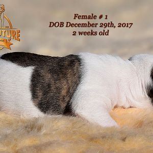 American Bulldog Puppy for sale - photo 67.jpg