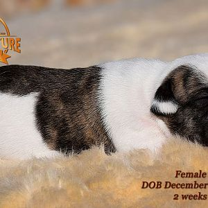 American Bulldog Puppy for sale - photo 68.jpg