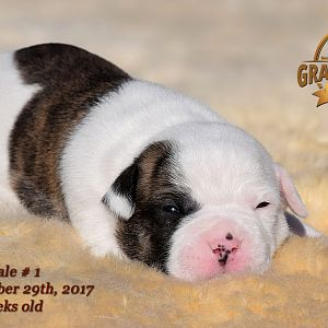 American Bulldog Puppy for sale - photo 69.jpg