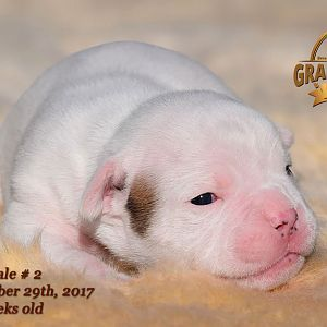 American Bulldog Puppy for sale - photo 71.jpg